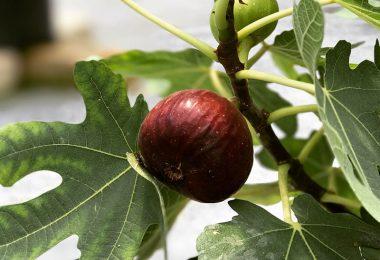 fresh-fig-farm