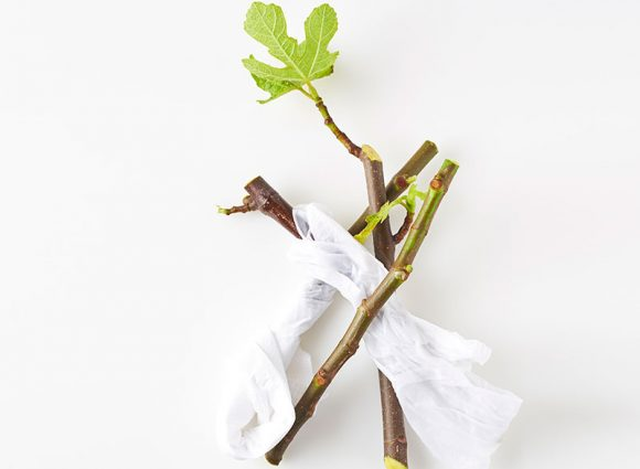fig-tree-cuttings-top-view-on-white-background